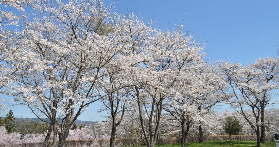 城山公園_桜